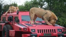 Paramount Marauder со львами
