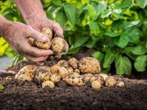 Техника для выращивания картофеля: практические рекомендации